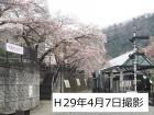 桜開花状況(4/7更新)