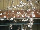 桜開花状況(3/21)