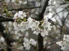 桜開花状況(3/22)