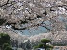 第48回やまきた桜まつり中止のお知らせ