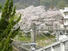 桜の開花状況(3/31)