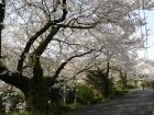 桜の開花状況(3/30)