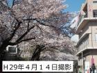桜の開花状況(4月14日更新)
