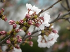 桜の開花状況(3/27)