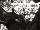 桜開花状況(3月31日更新)
