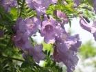 ジャカランダがきれいに咲いてます