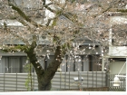 桜の開花状況(3/23)