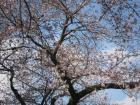 山北駅周辺の桜の開花状況について 3/23(火)