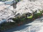 桜開花状況(4月3日更新)