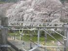 桜の開花状況(3/28)