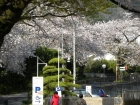 桜の開花状況(4/4)