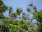 ジャカランタが咲き始めました。