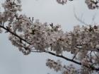 桜開花状況(4月5日更新)