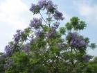 ジャカランタが咲きました。
