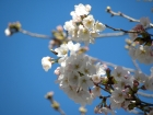 桜の開花状況(3/20)