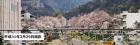 桜の開花状況(3月29日更新)