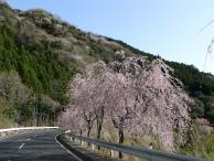 丹沢湖・しだれ桜