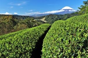 茶畑越しの初冠雪富士