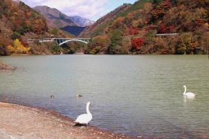 ダム湖の白鳥