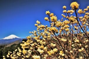 満開ミツマタ越しの富士山