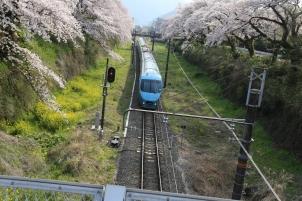 桜並木を走るロマンスカー