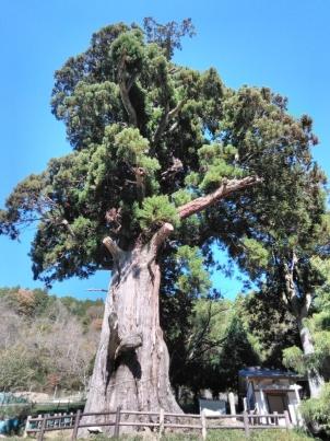 2000年の風格箒杉